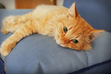 Cute red cat laying on grey sofas pillow, close up