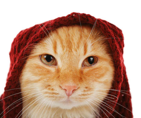 Portrait of red cat in maroon knitted scarf isolated on white background Stock Photo