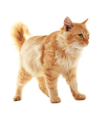 Chat rouge moelleux isolé sur fond blanc