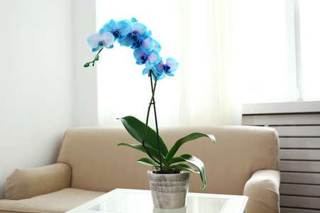 Beautiful blue orchid flowers in the room, close up