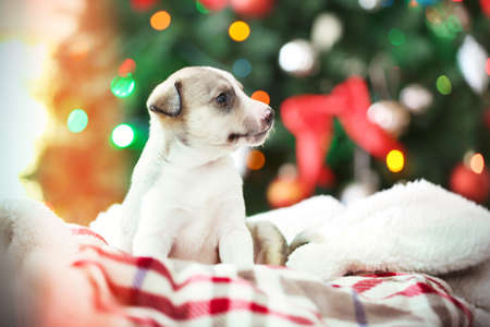 Little cute  puppy on Christmas background Banque d'images