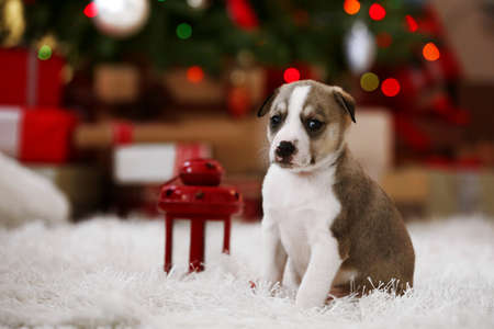 Little cute  puppy on Christmas background Stock Photo
