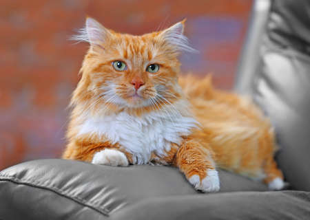 Fluffy red cat lying on a sofa