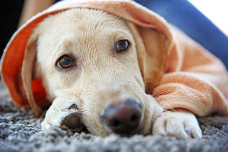 Wet Labrador dog in towel lying on gray carpet, closeup Stock Photo