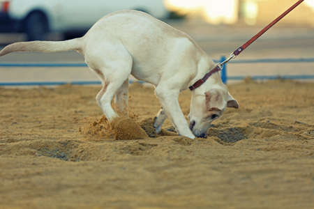 Labrador dog walking on a leash, unfocused background