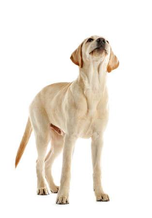 Cute Labrador dog isolated on white Stock Photo