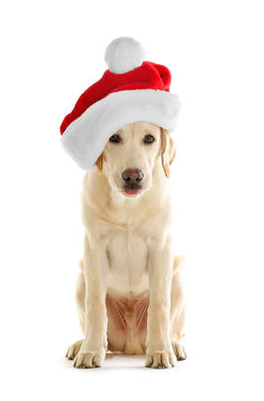 Cute Labrador dog with Santa hat isolated on white Stock Photo