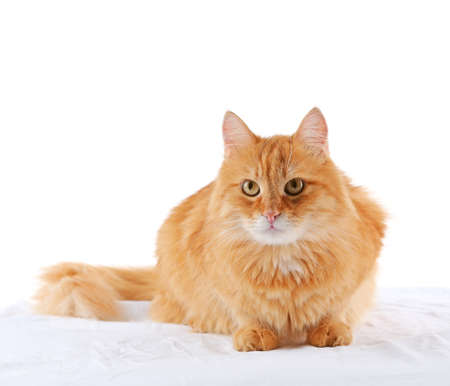 Ginger cat isolated on white