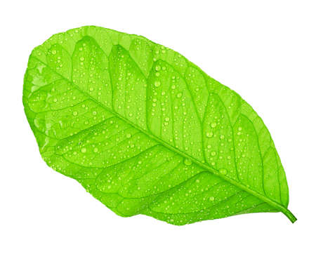 Green citrus leaf with droplets isolated on white Stock Photo