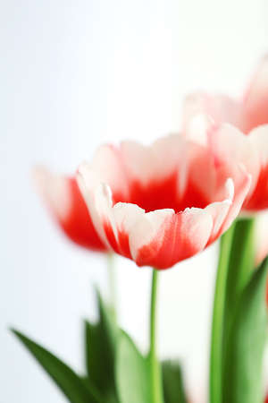Beautiful pink and white tulips, close up
