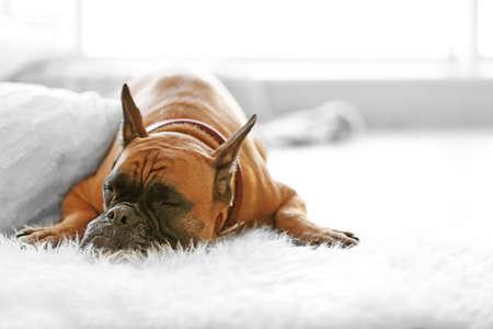 Perro boxer tirado en el piso en casa