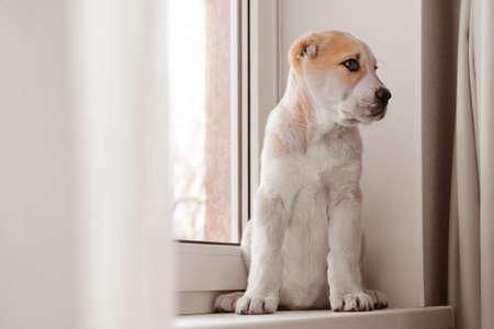 Central Asian Shepherd puppy sitting on the windowsill