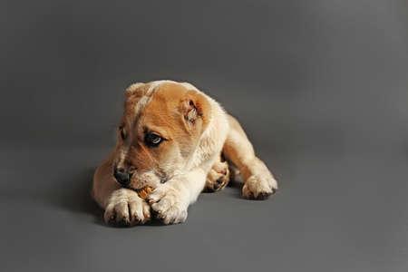 Central Asian Shepherd puppy eating bone on the floor
