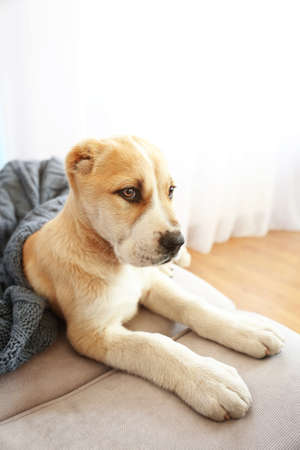 Central Asian Shepherd Puppy covered with blanket on the sofa