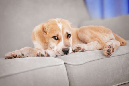 Central Asian Shepherd puppy lying on the sofa indoors Stock Photo