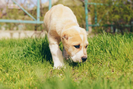 Central Asian Shepherd puppy outside on the grass