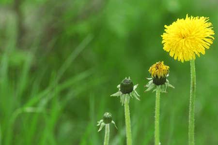 Flower bloom stage of dandelion on green grass background