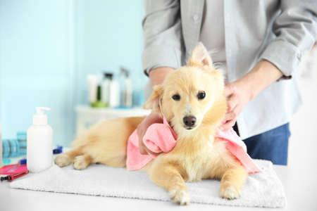 Cute dog Spitz at groomer salon Stock Photo
