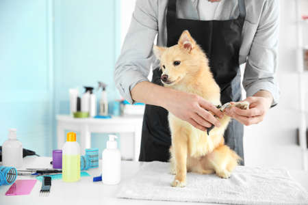 Cute dog Spitz at groomer salon Banque d'images