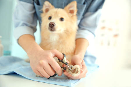 Cute dog Spitz at groomer salon Stock Photo