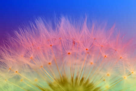 Beautiful dandelion toned in color gradient, closeup