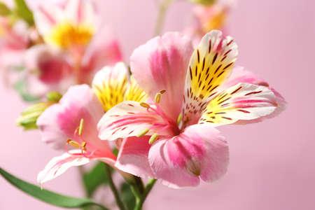Alstroemeria on pink background