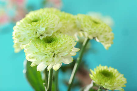 Beautiful chrysanthemum on turquoise background