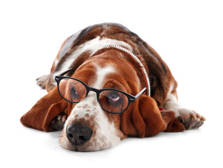 Basset hound dog in glasses on white background