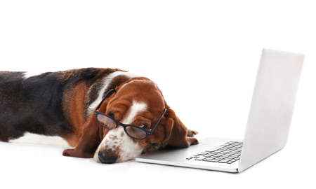 Basset hound dog in glasses with laptop on white background Reklamní fotografie