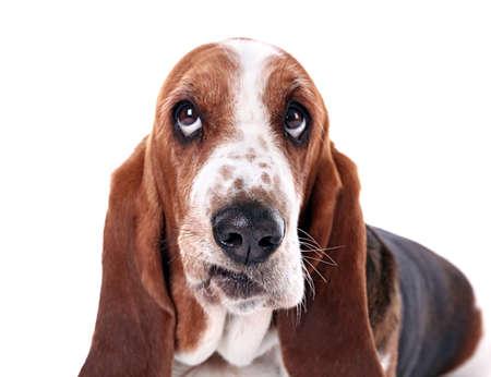 흰색 배경에 바셋 하운드 개