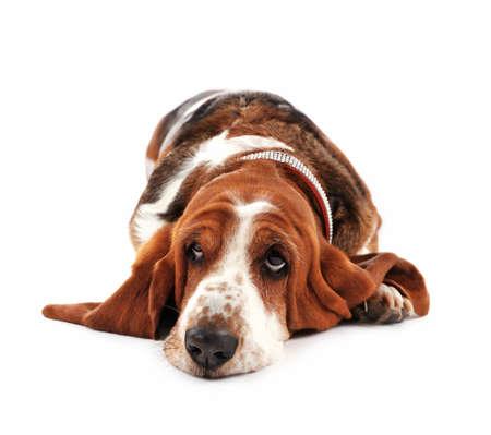 白い背景にバセットハウンド犬