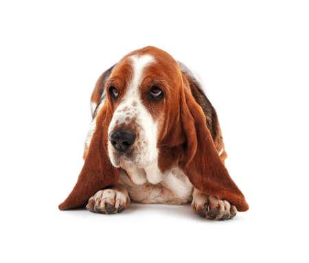 Basset Hound Hund auf weißem Hintergrund Standard-Bild - 96306251