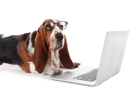 Basset hound dog in glasses with laptop on white background 스톡 콘텐츠