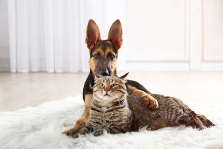 Cute cat and funny dog on carpet Stockfoto