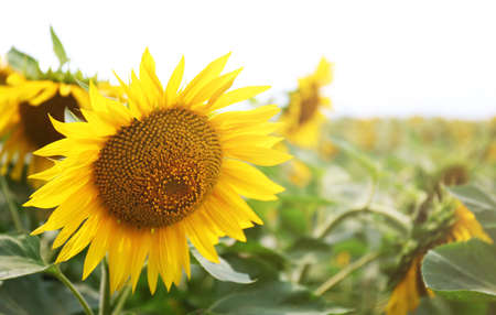 Sunflower field with blue sky Banque d'images