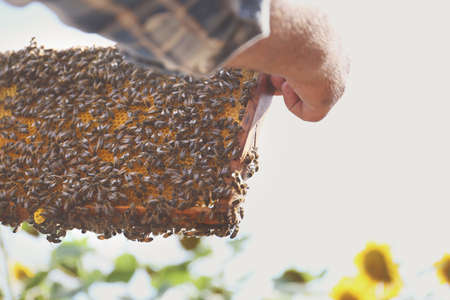 Man holding frame with honeycomb on sunflower field background Stock Photo