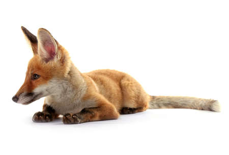 Beautiful fox cub lying isolated on white 写真素材