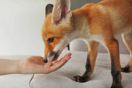 Cute fox cub eating from woman hand  in room 写真素材