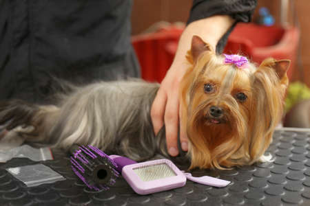 Canine hairdresser grooming dog in salon