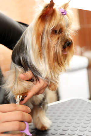 Canine hairdresser cutting dogs nails in salon