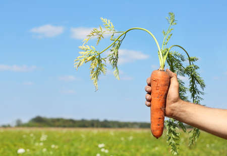 Man holding carrot in field