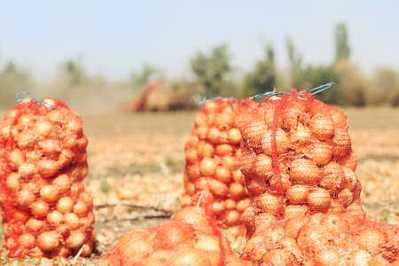 Field with onions in mesh bags for harvest