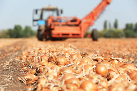 Field with onions for harvest Stock Photo