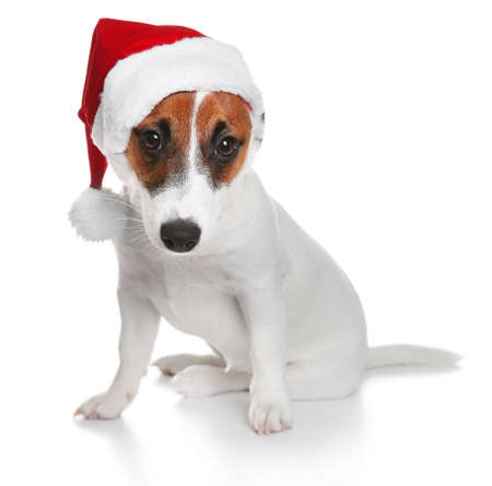 Cute Jack Russel Terrier in red hat isolated on white