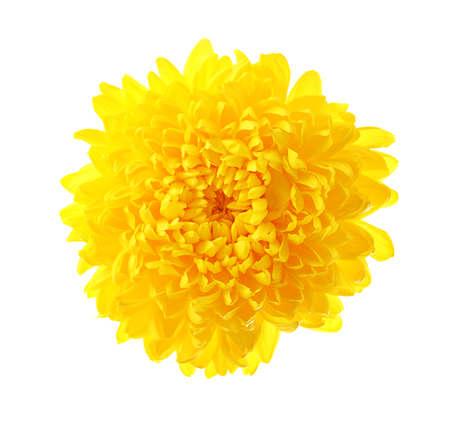 Beautiful yellow chrysanthemum isolated on white background