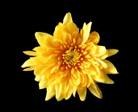 Yellow daisy flower on black background 版權商用圖片