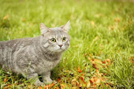 Beautiful fluffy cat sitting on green grass Stock Photo