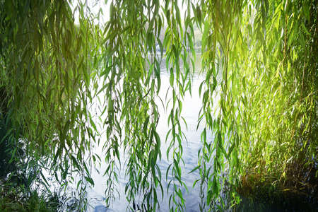 Branches of weeping willow near lake in beautiful park