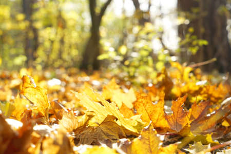 Close up view of fallen leaves in autumn park