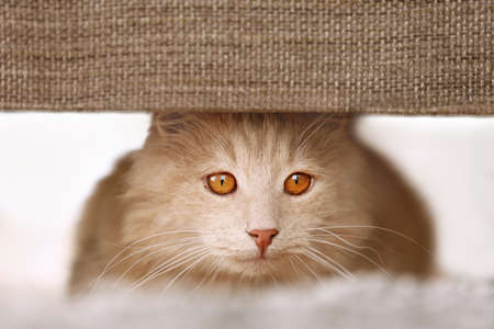 Cute cat hiding under furniture at home, close up view Stock Photo